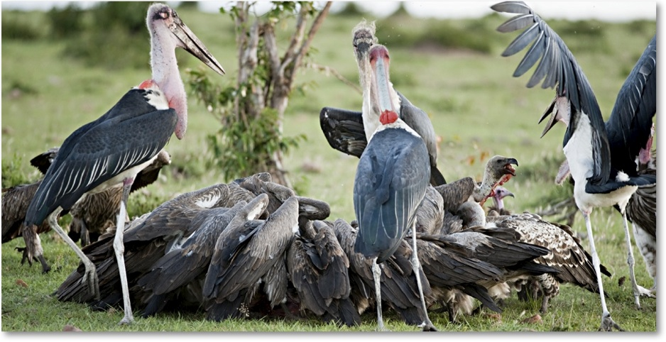 bee and marabou stork relationship